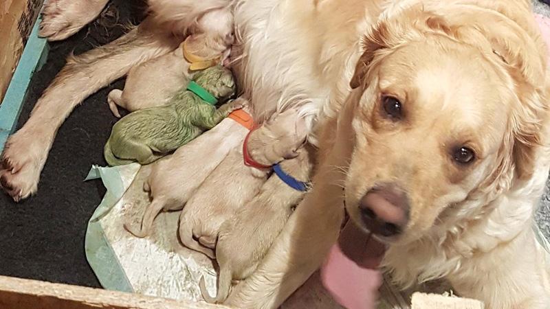 Golden Retriever Gives Birth To Rare Green Puppy