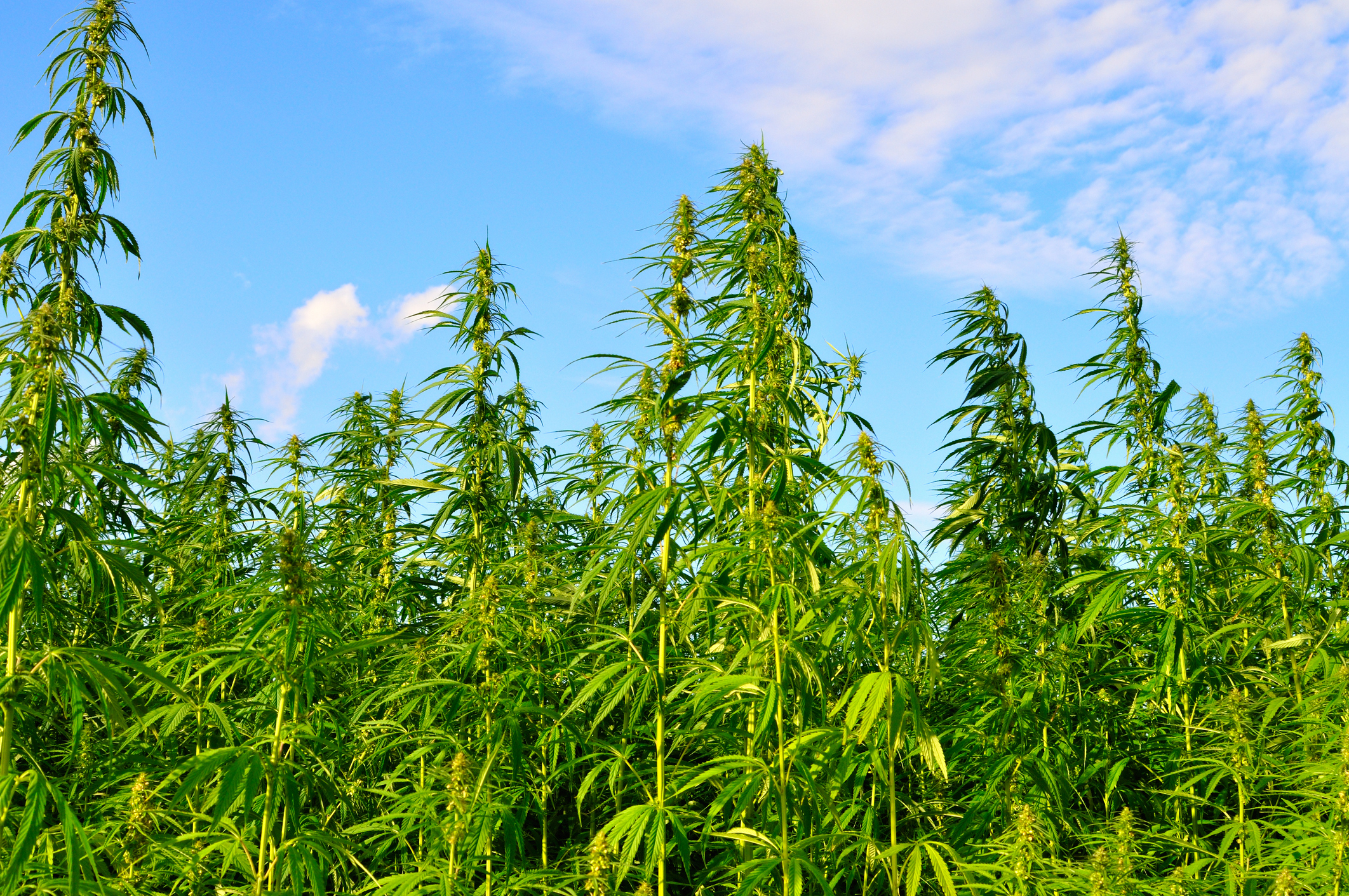 Hemp Growing Rules Changing In Tennessee Wreg Com